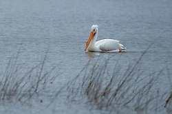 Emiquon Nature Preserve and Wildlife Refuge - American White Pelican (Pelecanus erythrorhynchos) swimming in lake water on a mostly cloudy day in central Illinois