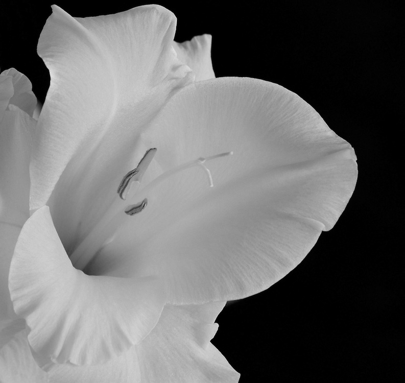 Peach flower black background monochrome(black & white)