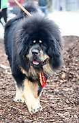 Tibetan Mastiff is a large Tibetan dog breed. Originating with the nomadic cultures of Tibet, China, India, Mongolia and Nepal, it is used by local tribes of Tibetans to protect sheep and livestock