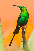 Male Malachite Sunbird, Namaqua National Park, South Africa