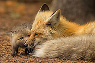 A tiny fox kit nuzzles his mother while she takes a brief rest after returning from a lengthy hunting trip.  With eight mouths to feed, this vixen and her mate must hunt constantly to provide enough food for their brood.