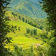 View of vietnamese rice fields