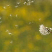 I'd visited Hampstead Heath to take photographs of the view across London from Parliament Hill. However, the weather was so dismal I could barely see to the bottom of the hill. With a strong wind I decided to focus on dandelion seeds being blown about. It wasn't as easy as I'd thought though!