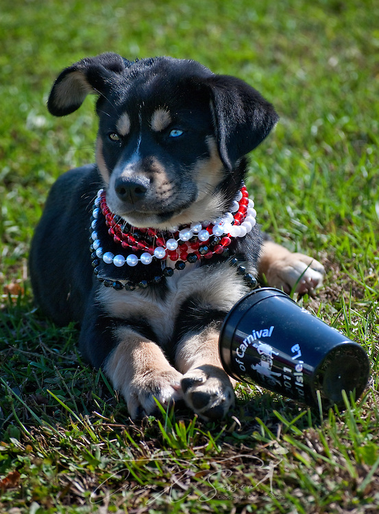 A puppy pauses from playing with a plastic cup to watch the festivities surrounding the annual Grand Isle Mardi Gras parade March 6, 2011 in Grand Isle, La. The island was heavily impacted by the Deepwater Horizon oil spill April 20, 2010 and continues to recover. (Photo by Carmen K. Sisson/Cloudybright)
