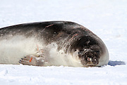 Male southern elephant seal (Mirounga leonina) resting on a beach. The southern elephant seal lives in the open waters of the Southern Ocean around Antarctica, coming ashore only to breed, give birth and to moult. An adult male must fight for a breeding territory, in which he keeps a harem of females. Severe injuries may be inflicted by an oppponent's sharp canine teeth. The southern elephant seal is named for its snout, or proboscis, which becomes enlarged during the breeding season. It feeds on fish and squid, often diving deep below the surface to catch its prey. Photographed on Deception Island Antarctica.