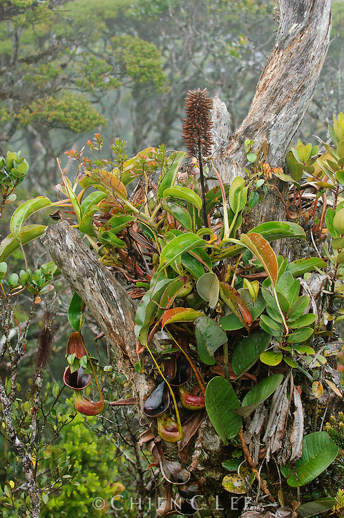 The bizarre gourd-shaped pitchers of this pitcher plant (Nepenthes lowii) are an unforgettable sight in the mossy forests of northern Borneo. It is has been shown that these function to trap animal droppings which serve as fertilizer for the plant. Sarawak, Malaysia.