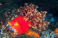 A Sea Apple, colorful member of the Sea Cucumber family, extends its feeding arms.<br /> <br /> Shot in Indonesia