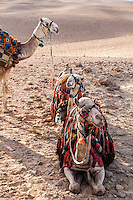 Three camels draped in beautiful colored blankets and tassels, in Giza, Egypt.