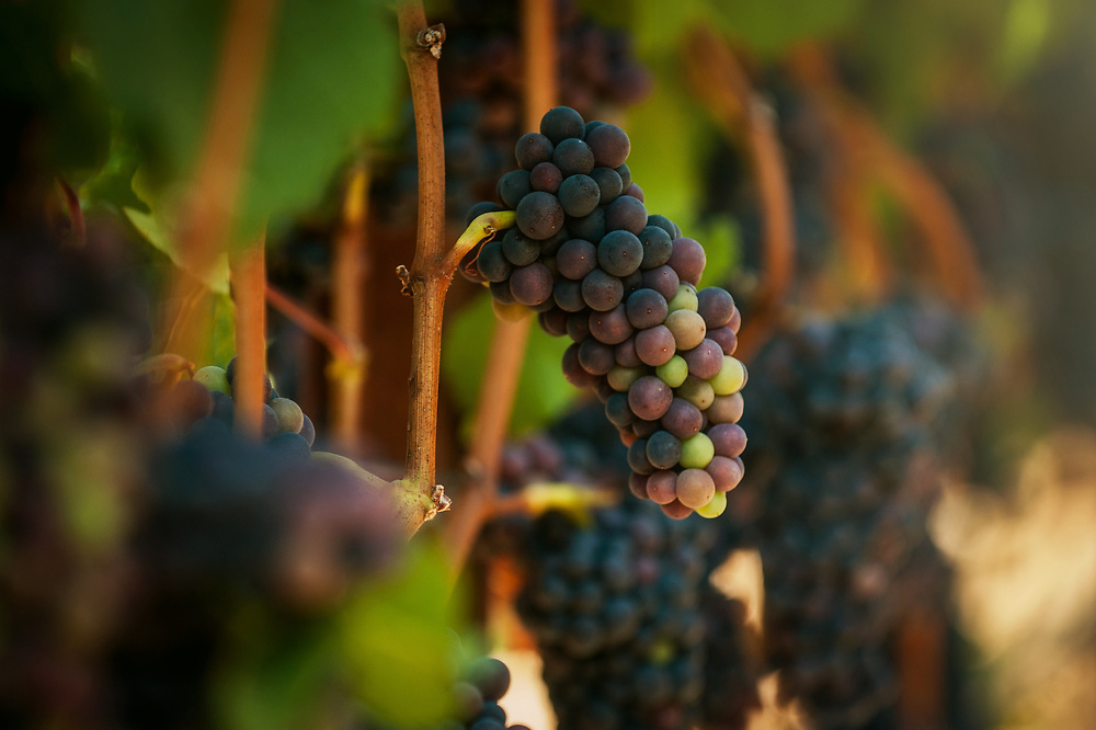 Carlton Cellars Vineyard, Pinot Noir Grapes