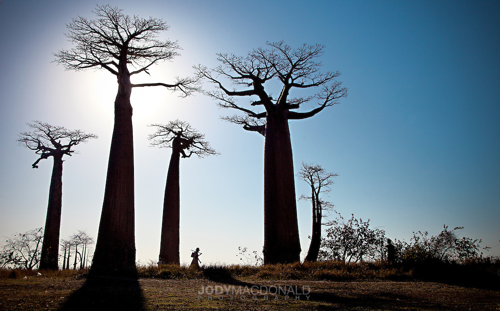 Baobab Alley, Morondova Madagascar.  I spent a week in this enchanting part of the world to capture the magnificence of these ancient trees.
