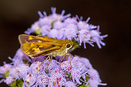 Fiery Skipper - Hodges#4013 (Hylephila phyleus)<br /> United States: Alabama: Tuscaloosa Co.<br /> Tulip Tree Springs off Echola Rd.; Elrod<br /> 8-Oct-2017<br /> J.C. Abbott #3001