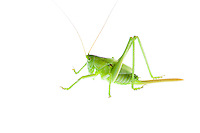IFTE-NB-007431; Niall Benvie; Tettigonia viridissima nymph; grasshopper; Europe; Austria; Tirol; Fliesser Sonnenhänge; insect arthropod invertebrate; horizontal; high key; green white; controlled; male; adult; grassland upland meadow; 2008; July; summer; strobe backlight; Wild Wonders of Europe Naturpark Kaunergrat