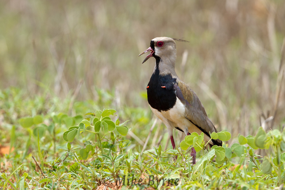 Southern Lapwing (Vanellus chilensis) strutting in a field in Mato Grosso, Brazil