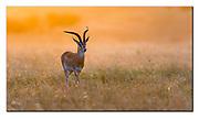 Grant's gazelle in the orange morning light of Maasai Mara, Kenya. Nikon D500, Nikon 600mm (900mm in DX mode), f4, EV-0.67, 1/500sec, ISO250, Aperture mode