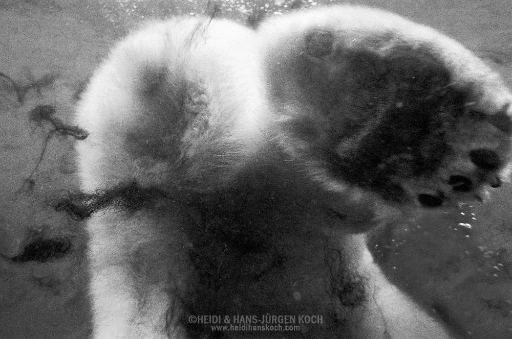 Deutschland, DEU, Stuttgart, 2000: (Ursus maritimus) | Germany, DEU, Stuttgart, 2000: Polar bear, Ursus maritimus, diving, hind foot, Tierpark Wilhelma, Stuttgart. |