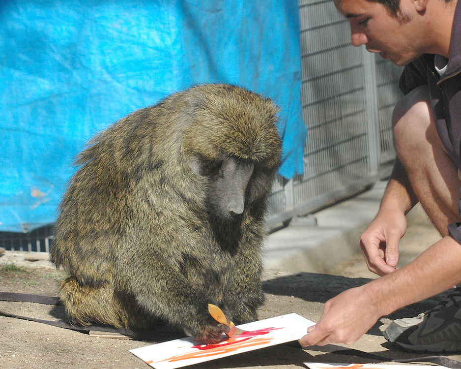 H:\EDITORIAL\Photos\JH 3 March 22 2007 Rosie, 27, an Olive Baboon, paints with non-toxic children's paint with help from Moorpark College Teaching Zoo student Ricky Brush, a Simi Valley resident during a training session last week...