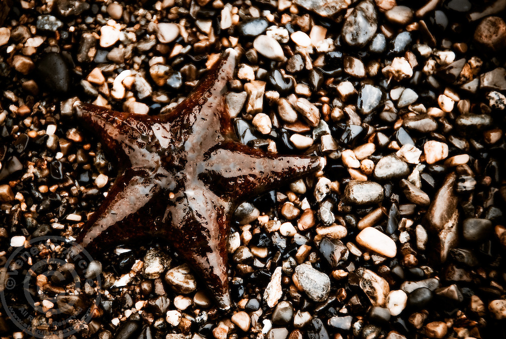 A sea star stranded on the exposed rocks awaits the tide.