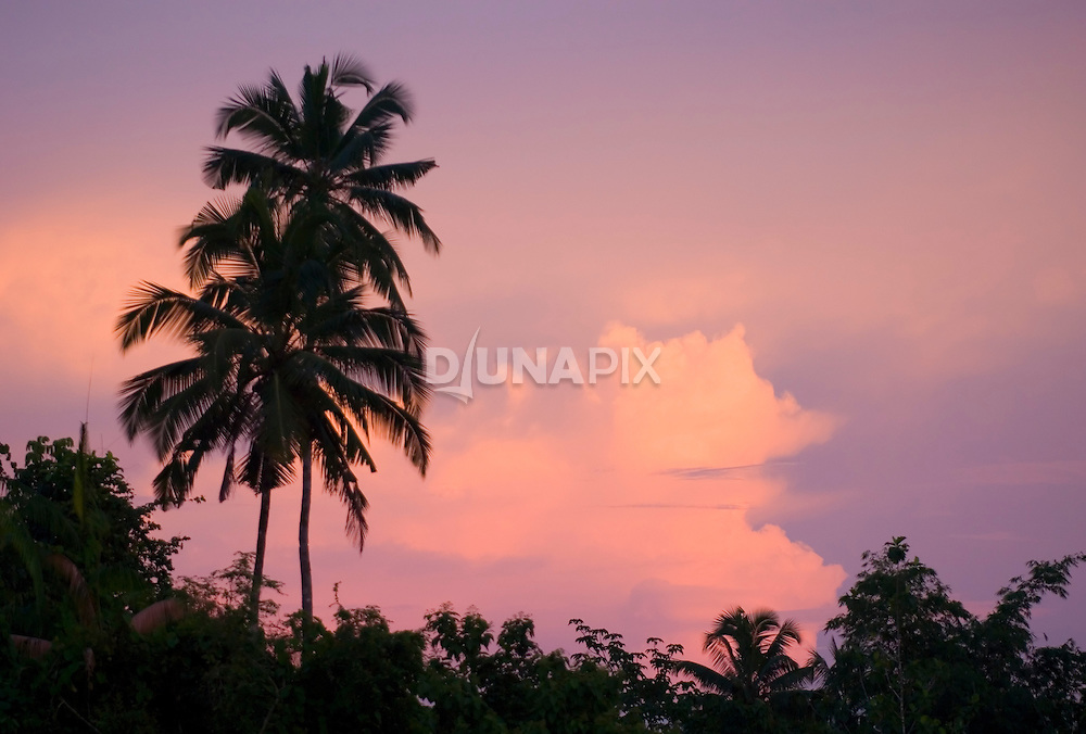 Sunset silhouettes coconut palms on Siberut island, West Sumatra.