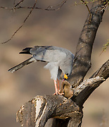 Eastern Chanting Goshawk, (Melierax poliopterus) feeding on a squirrel in Samburu NP, Kenya.