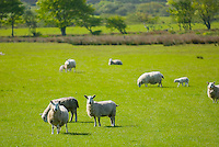 Sheep grazing in field, Isle of Arran Scotland
