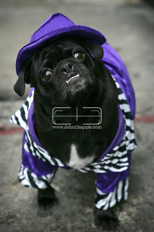 October 2005, New York, NY. The New York City Pug Halloween Costume Contest Party. Pictured is Rueben dressed as The Pimp. ..PHOTO © JOHN CHAPPLE / WWW.JOHNCHAPPLE.COM..THIS COPYRIGHTED IMAGE MUST NOT BE USED WITHOUT PERMISSION