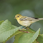 Blackpoll Warbler Fall