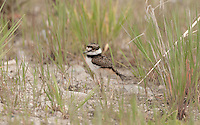 Early May 2016 this Killdeer chick is exploring the short grass with three other chicks in the Bear River Bird Refuge in northern Utah.