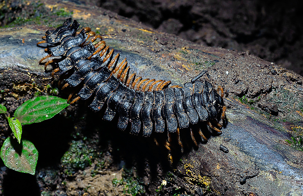 Tractor millipede (Barydesmus sp.?) from the rainforest of La Selva, Ecuador