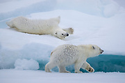 "Two polar bear cubs stop to play while mom walks on encouraging the cubs to follow.  You can almost hear threatening: ""I'm going to leave you behind if you don't hurry up!"""