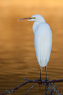 A great egret perches in early morning light, Redwood Shores, CA