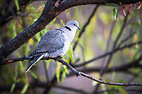 Cape turtle dove, Pilanesberg National Park, North West, South Africa