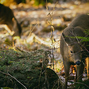 Two deer in Point Defiance - Tacoma, WA
