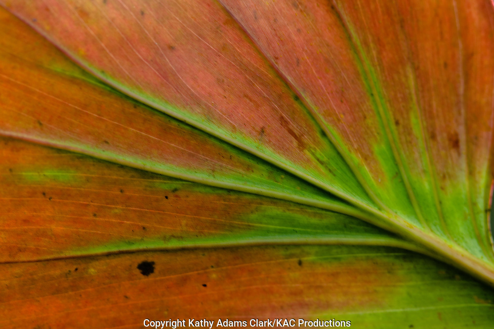 detail of the underside of a leaf in a garden at Tinalandia, ecuador.
