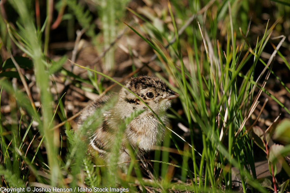 WYOMING. Grand Teton National Park. Blue Grouse (Dendragapus obscurus) chick.