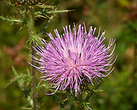 Thistle Flower. Image taken with a Nikon D200 camera and 200 mm f/4 macro lens (ISO 100, 200 mm, f/22, 1/50 sec)