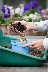 Planting up an amaryllis (syn. hippeastrum) bulb in a pot