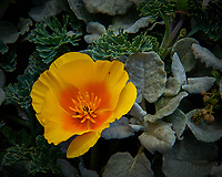 California Poppy. Northern Coast of California along the Pacific Coast Highway. Image taken with a Nikon D3 camera and 24-70 mm f/2.8 lens (ISO 200, 70 mm, f/16, 1/400 sec).
