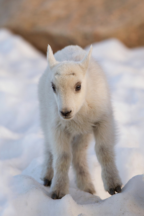 Stock Photo of mountain goat kid captured on Mount Evans, Colorado.  After a gestation of five to six moinths, the nanny bears a single kid.  The young are very playful, leaping and scaling large boulders.
