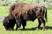 A moulting bison grazes at the side of the road in the Lamar Valley, Yellowstone National Park, Wyoming