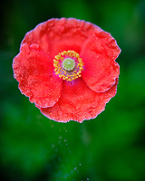 Red Poppy. Image taken with a Fuji X-T3 camera and 80 mm f/2.8 macro lens