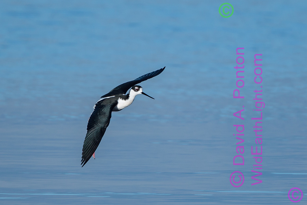 Black-necked stilt in flight, banking, slowing for landing, waters of the Salton Sea, California. © 2011 David A. Ponton
