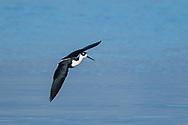 Black-necked stilt in flight, banking, slowing for landing, waters of the Salton Sea, California. © 2011 David A. Ponton