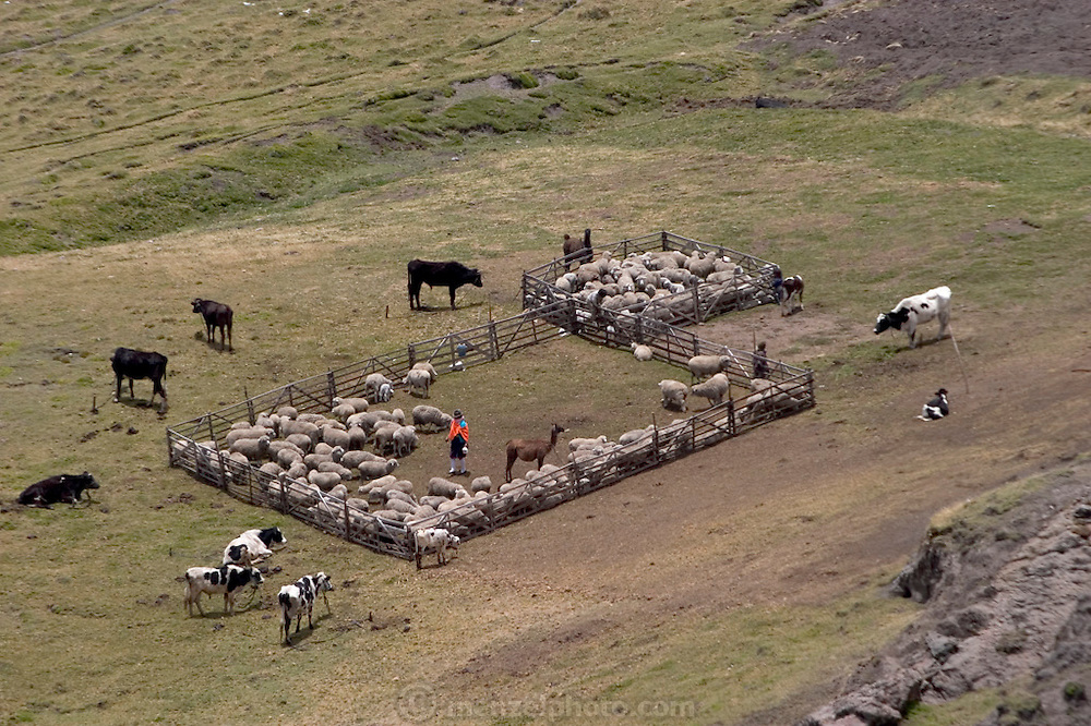 Sheep, cattle, and alpacas are rounded up in a corral on a hillside near a family compound near Simiatug, Ecuador. (Supporting image from the project Hungry Planet: What the World Eats.)