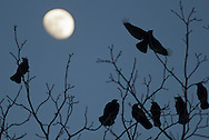 Middletown, New York  - Crows (Corvus brachyrhynchos) and the moon at twilight  on Feb. 4, 2012.