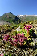 Houseleeks (Sempervivum montanum) High Tauern National Park (Nationalpark Hohe Tauern), Central Eastern Alps, Austria | Berg-Hauswurz (Sempervivum montanum) Nationalpark Hohe Tauern, Osttirol in Österreich
