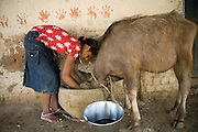 Pooja, 14, a student from the village of Pathpuri, Hoshangabad, Madhya Pradesh, India, taking part to the children's journal, a project launched by Dalit Sangh, an NGO which has been working for the uplift of scheduled castes for the past 22 years, is taking care of the family buffalo in her home. Dalit Sangh is working in collaboration with Unicef India to promote education and awareness within backward communities.