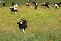 Cows graze on a green pasture at the Shaker Village  in Hancock Massachusetts.