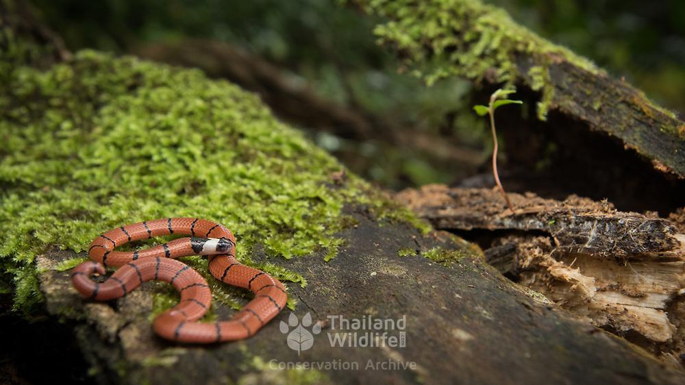 MacClelland's Coral Snake (Sinomicrurus macclellandi) juvenile in Kaeng Krachan national park, Thailand