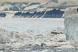 Polar bear (ursus maritimus) in the drifting ice in Storfjorden, Spitsbergen, Svalbard, Norway