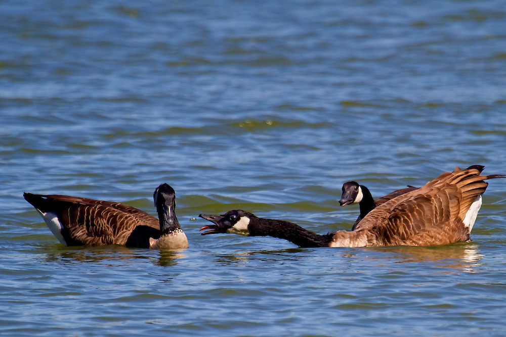 These two shots (this one and the next) are some male geese fighting over a mate, who is hiding behind one of the males. Sound familiar?